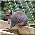 SJ9593 : Grey squirrel (Sciurus carolinensis) by Gerald England