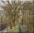 SK5650 : Seven Mile Wood, Papplewick, Notts. by David Hallam-Jones
