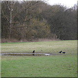 SE2436 : Rooks by a puddle, Bramley Fall Park by Rich Tea