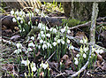 NO1522 : Snowdrops by William Starkey