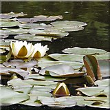 SJ6651 : Water lilies by Gerald England
