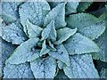 SK0586 : Frosty foxglove by Dave Dunford