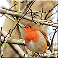J3268 : Robin, Minnowburn, Belfast (February 2015) by Albert Bridge