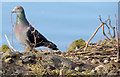 J3675 : Feral pigeon with twig, Victoria Park, Belfast (February 2015) by Albert Bridge