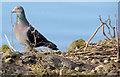 J3675 : Feral pigeon with twig, Victoria Park, Belfast (February 2015) by Albert Bridge