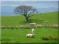 NY6533 : Pasture, Kirkland, Culgaith by Andrew Smith