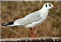 J4774 : Black-headed gull, Kiltonga, Newtownards - February 2015(1) by Albert Bridge