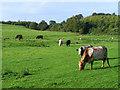 NY5559 : Pasture, Farlam by Andrew Smith