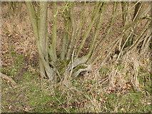 TF0627 : Former hedge laying by Bob Harvey