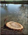 SP2965 : Stump of poplar by the River Avon, rear of Mercia Way, Warwick by Robin Stott