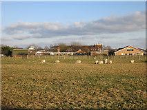 TL4259 : Sheep by the Vet School by Hugh Venables