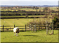 SP1246 : Sheep on footpath to Ullington by David P Howard