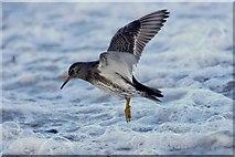 HP5605 : Purple Sandpiper (Calidris maritima), Westing beach by Mike Pennington