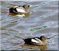J3474 : Black guillemots, River Lagan, Belfast (March 2015) by Albert Bridge
