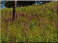 SO7645 : Foxgloves near Sugarloaf Hill by Mat Fascione