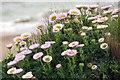 SZ2492 : Seaside daisies on the clifftop by Steve Daniels