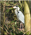 TG3613 : Grey Heron (Ardea cinerea) by Evelyn Simak