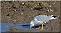 J3979 : Common gull, Holywood (March 2015) by Albert Bridge