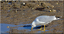 J3979 : Common gull, Holywood (March 2015) by Albert Bridge
