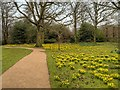 SJ7387 : Daffodils at Dunham Massey by David Dixon