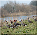 TG3604 : Greylag geese on the River Yare by Evelyn Simak