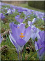ST3505 : Forde Abbey: a crocus among thousands by Chris Downer