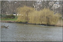 TQ2979 : View of weeping willows next to St. James's Park Lake by Robert Lamb
