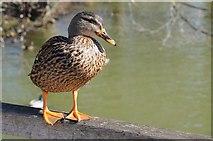 TQ7825 : Mallard duck by Philip Halling