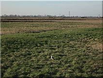 TL4279 : Barn Owl near Four Acres by Hugh Venables