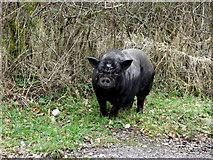 H6160 : Black pig, Tullyglush by Kenneth  Allen
