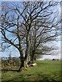 SX2888 : Trees near Hellescott by Derek Harper
