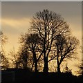 SK4935 : Morning light behind trees by David Lally