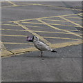SX4854 : One clever Seagull #1 by Ian S