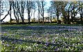 NS3320 : A Carpet Of Crocuses by Mary and Angus Hogg