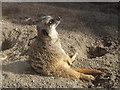 SH8378 : Meerkat at Welsh Mountain Zoo by Richard Hoare