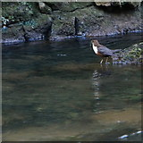 SK1272 : Dipper in Chee Dale (2) by Peter Barr