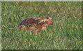 SE6879 : Hare relaxing in meadow by Pauline E