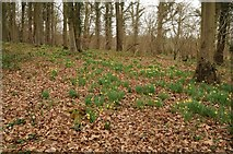 SO6828 : Daffodils in Dymock Wood by Philip Halling