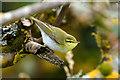 HP6109 : Wood Warbler (Phylloscopus sibalitrix), Baltasound by Mike Pennington