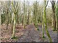 SU9891 : Plantation, Grove Wood by Robin Webster