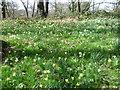 TQ4878 : Wild daffodils in Lesnes Abbey Woods by Marathon