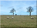 SP7905 : Sheep and trees by Robin Webster