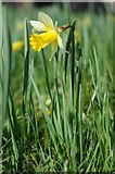 SO6631 : Daffodil in Kempley churchyard by Philip Halling