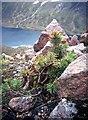NJ0002 : Scots pine at 950 metres by Alan Reid