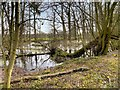 SJ9081 : Pond in Gibson Wood by David Dixon
