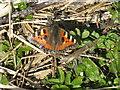 NT2469 : Small tortoiseshell butterfly by the Braidburn by M J Richardson