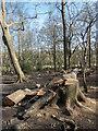 TQ2897 : Felled Tree, Oak Wood, Trent Park, Cockfosters, Hertfordshire by Christine Matthews