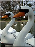 TL9925 : Swans at the boating lake by Neil Theasby
