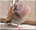 J3374 : Feral pigeon with one leg, Belfast - April 2015(2) by Albert Bridge