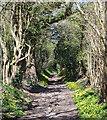 SU8387 : Celandine path, Lower Woodend, Buckinghamshire by Oswald Bertram